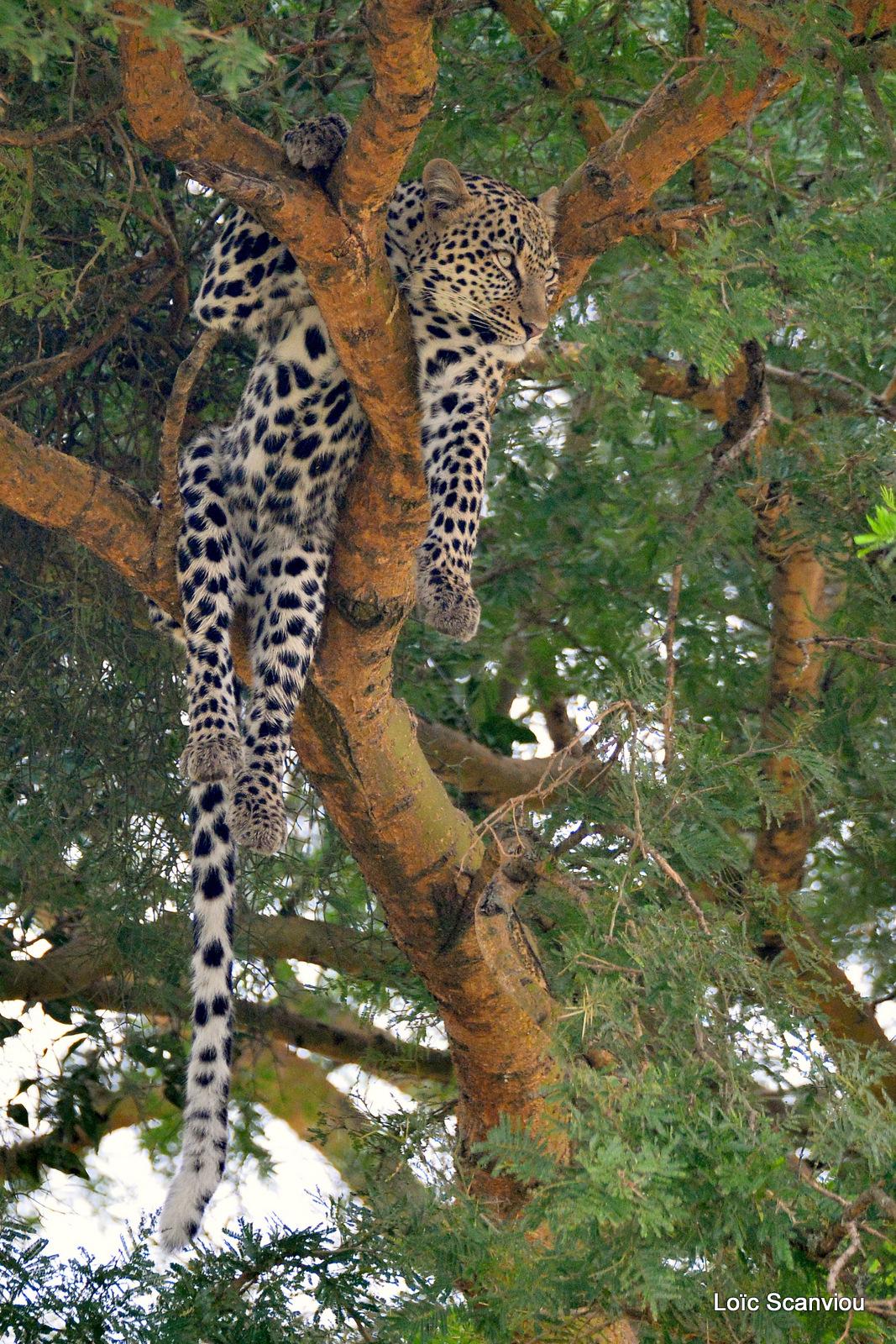 Léopard dans un arbre/Leopard on a tree (9)