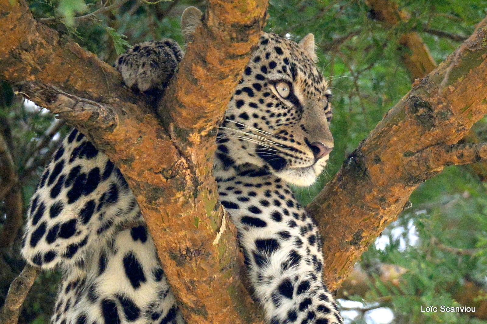 Léopard dans un arbre/Leopard on a tree (11)