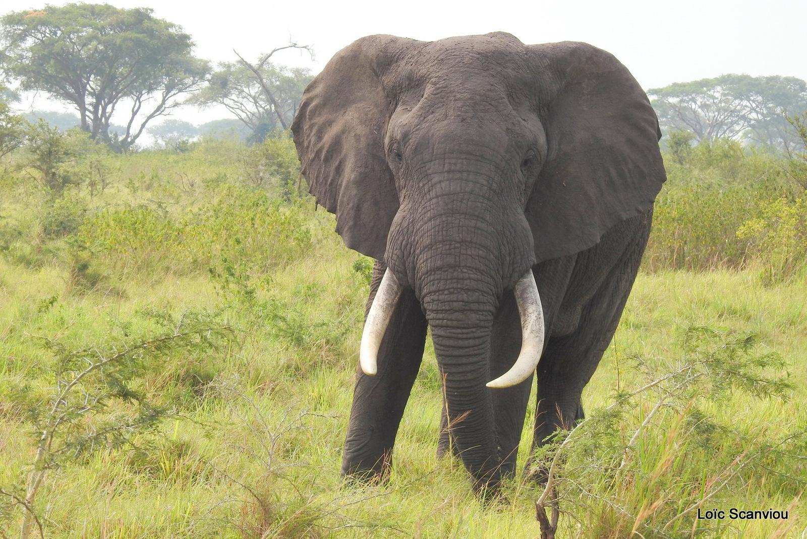 Éléphant de savane d'Afrique/Savanna Elephant (7)