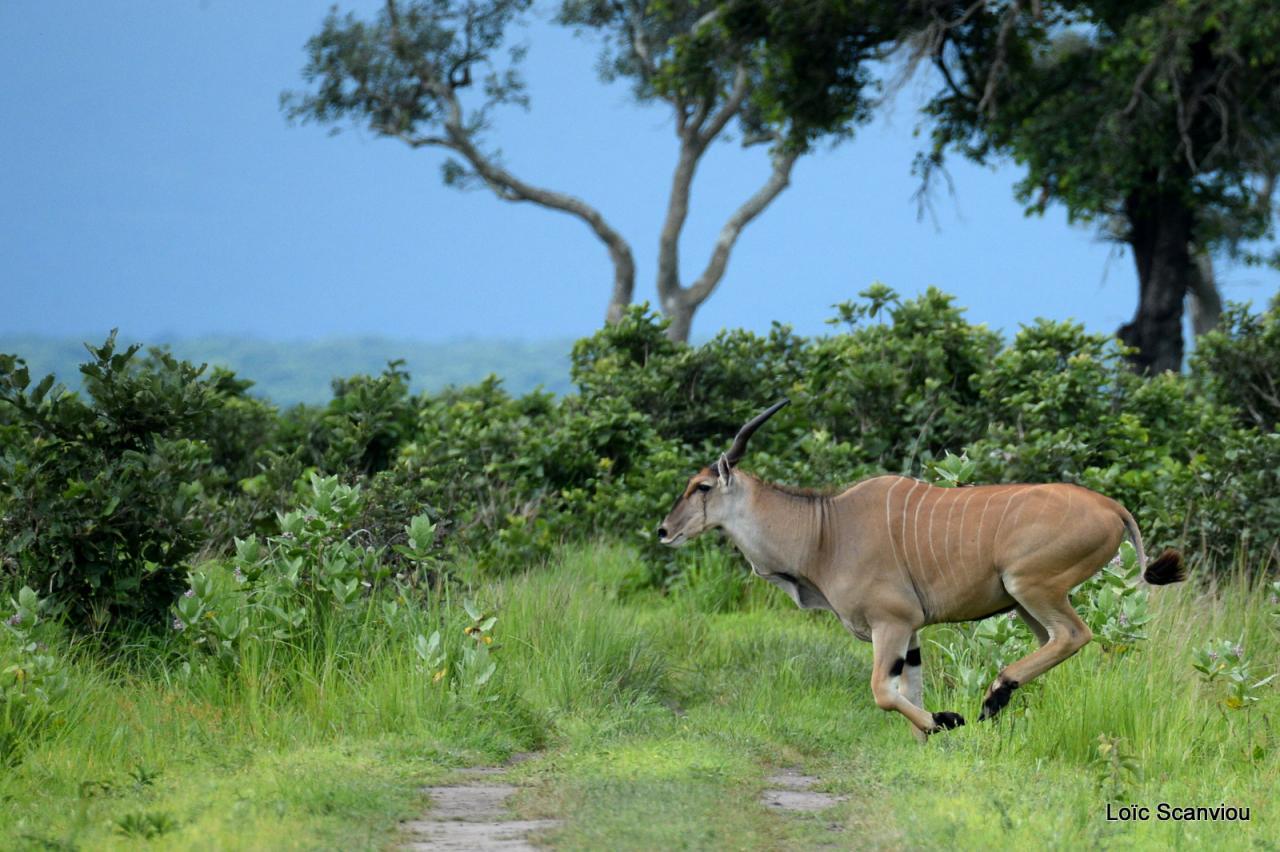 Eland du Cap/Cape Eland (6)