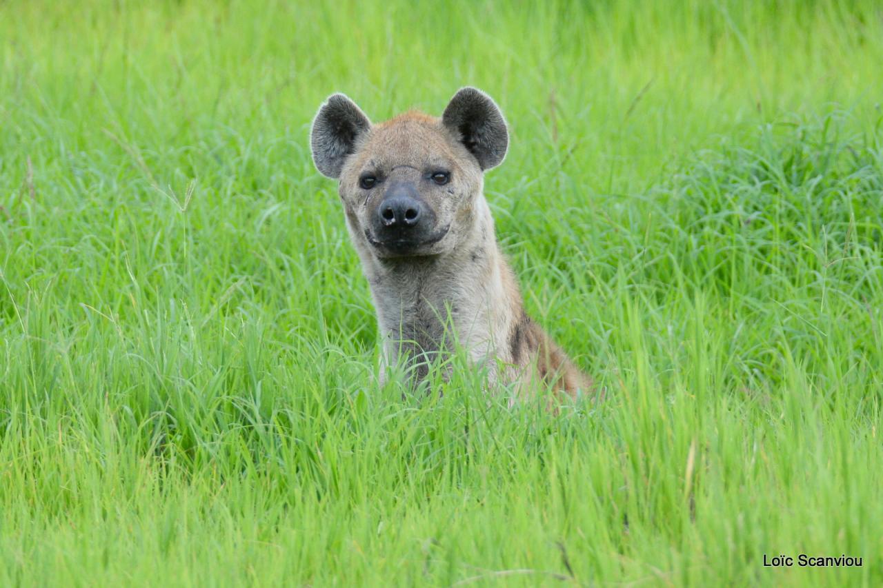 Hyène tachetée/Spotted Hyena (1)