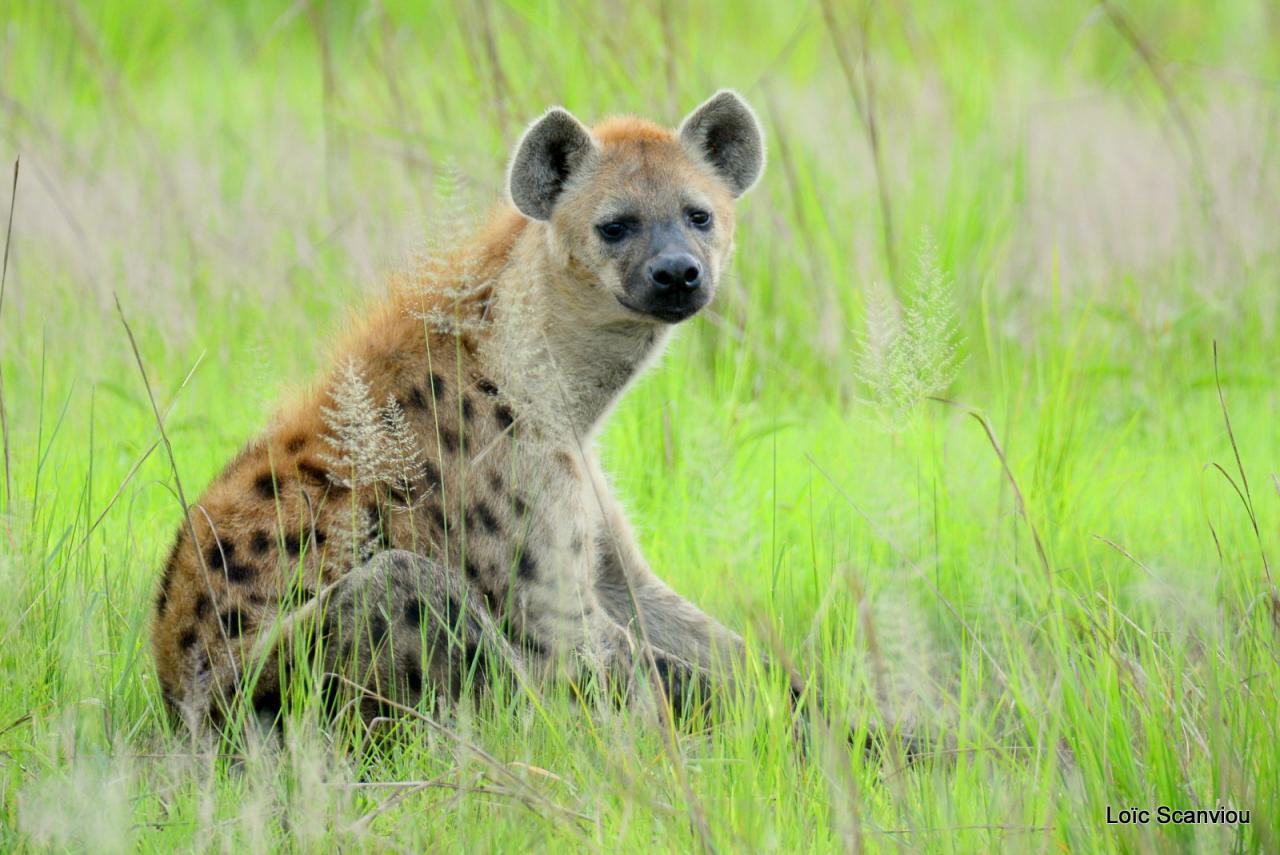 Hyène tachetée/Spotted Hyena (4)