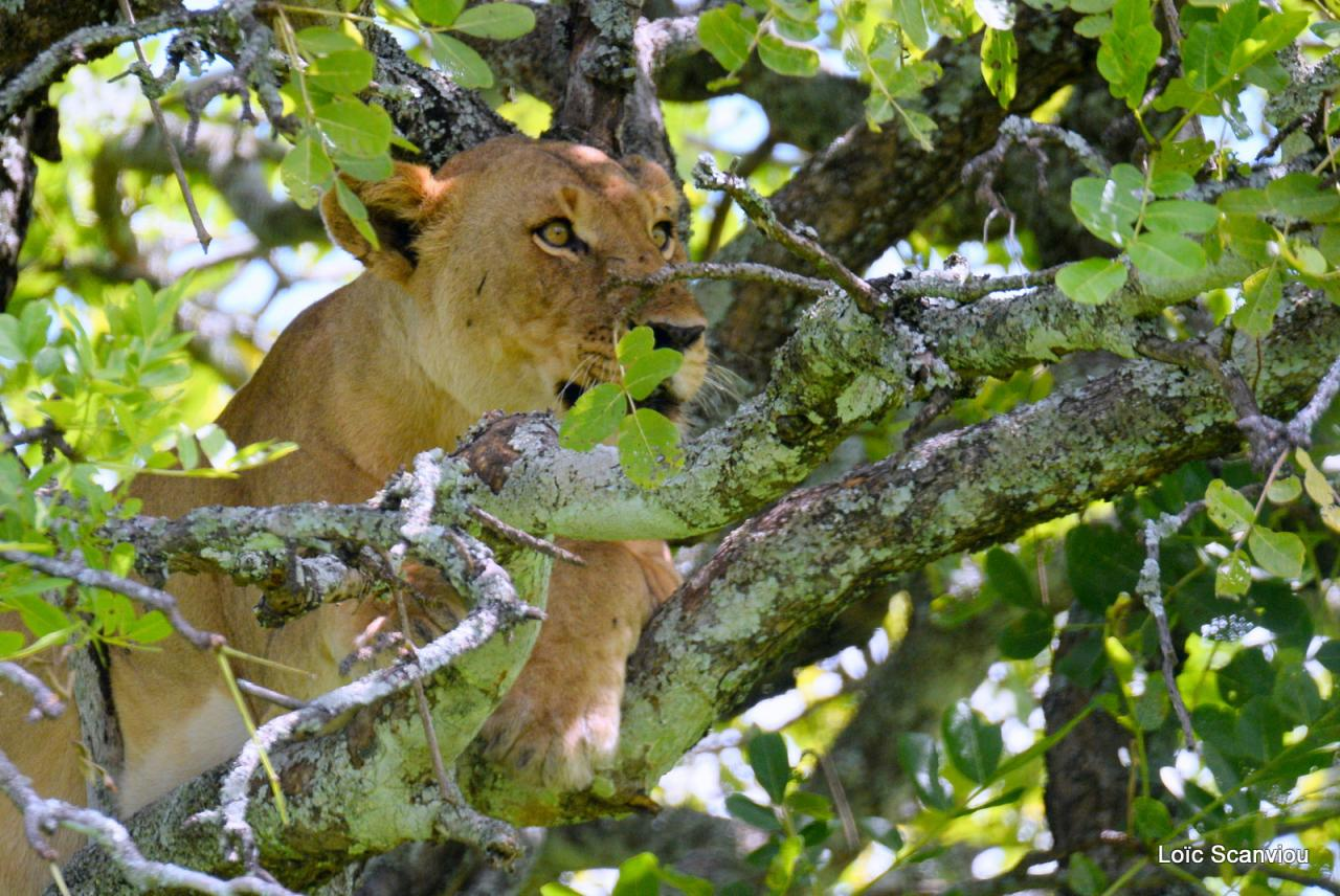 Lion dans un arbre/Lion on a tree (17)