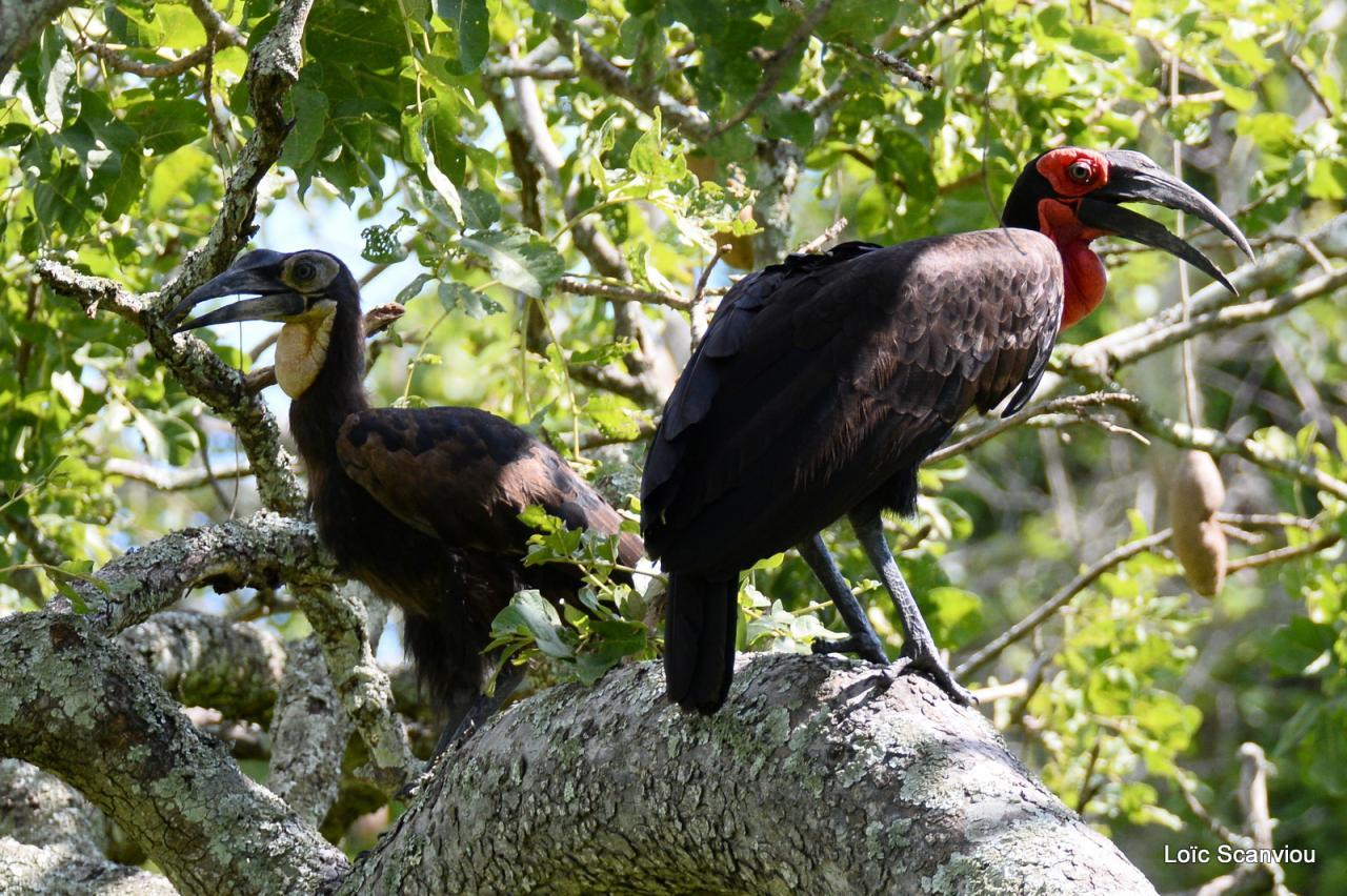 Bucorve/Ground Hornbill (1)