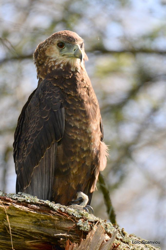 Aigle bateleur/Bateleur Eagle (2)