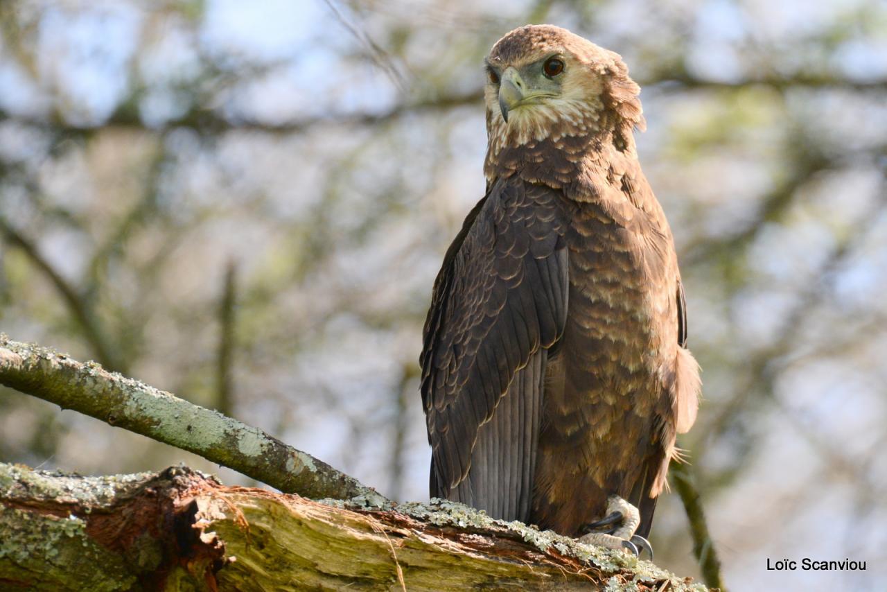 Aigle bateleur/Bateleur Eagle (3)