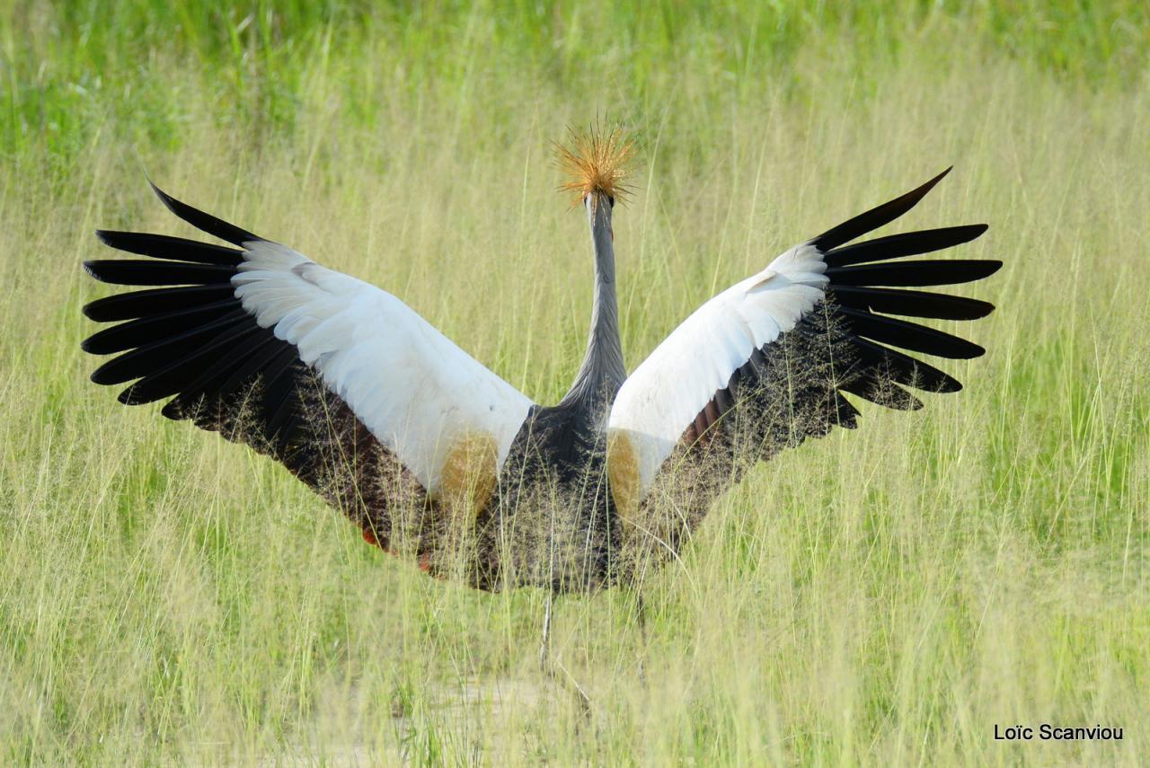 Grue couronnée/Grey-crowned Crane (1)