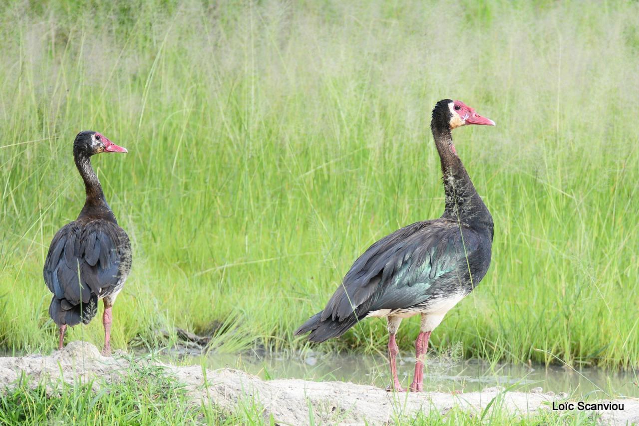 Oie armée de Gambie/Spur-winged Goose (1)