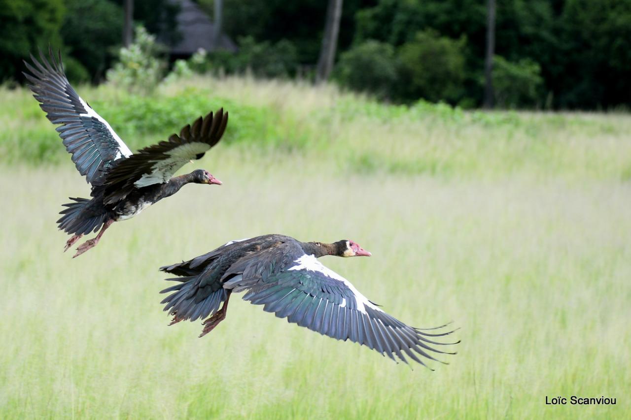 Oie armée de Gambie/Spur-winged Goose (3)