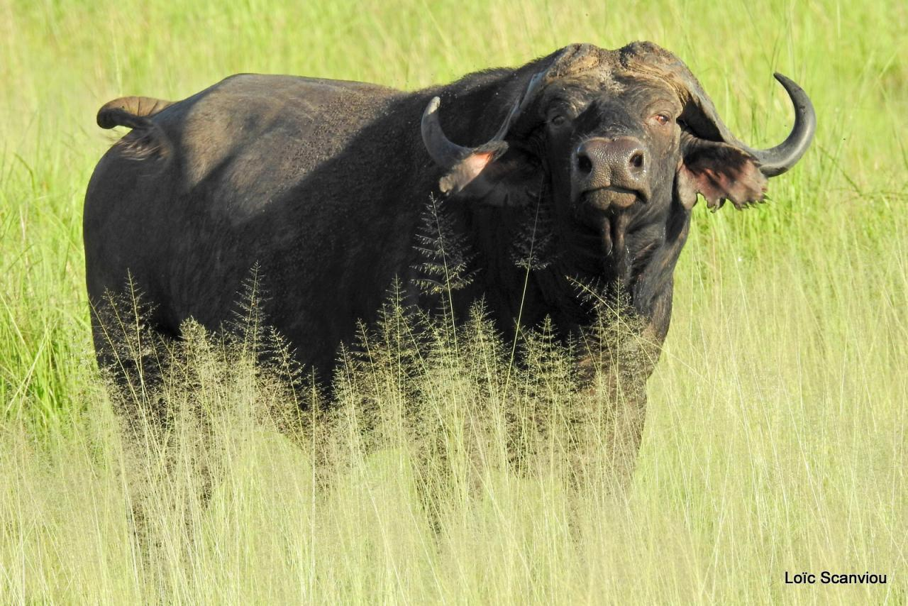 Buffle du Cap/Cape Buffalo (13)
