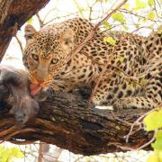 Repas de léopard (3)