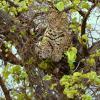 Léopard se reposant dans un arbre (1)