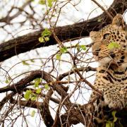Léopard se reposant dans un arbre (2)