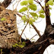 Léopard se reposant dans un arbre (3)