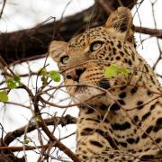 Léopard se reposant dans un arbre (4)