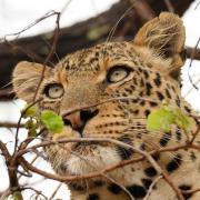 Léopard se reposant dans un arbre (5)