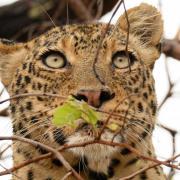Léopard se reposant dans un arbre (6)