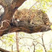 Repas de léopard (1)