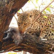 Repas de léopard (2)