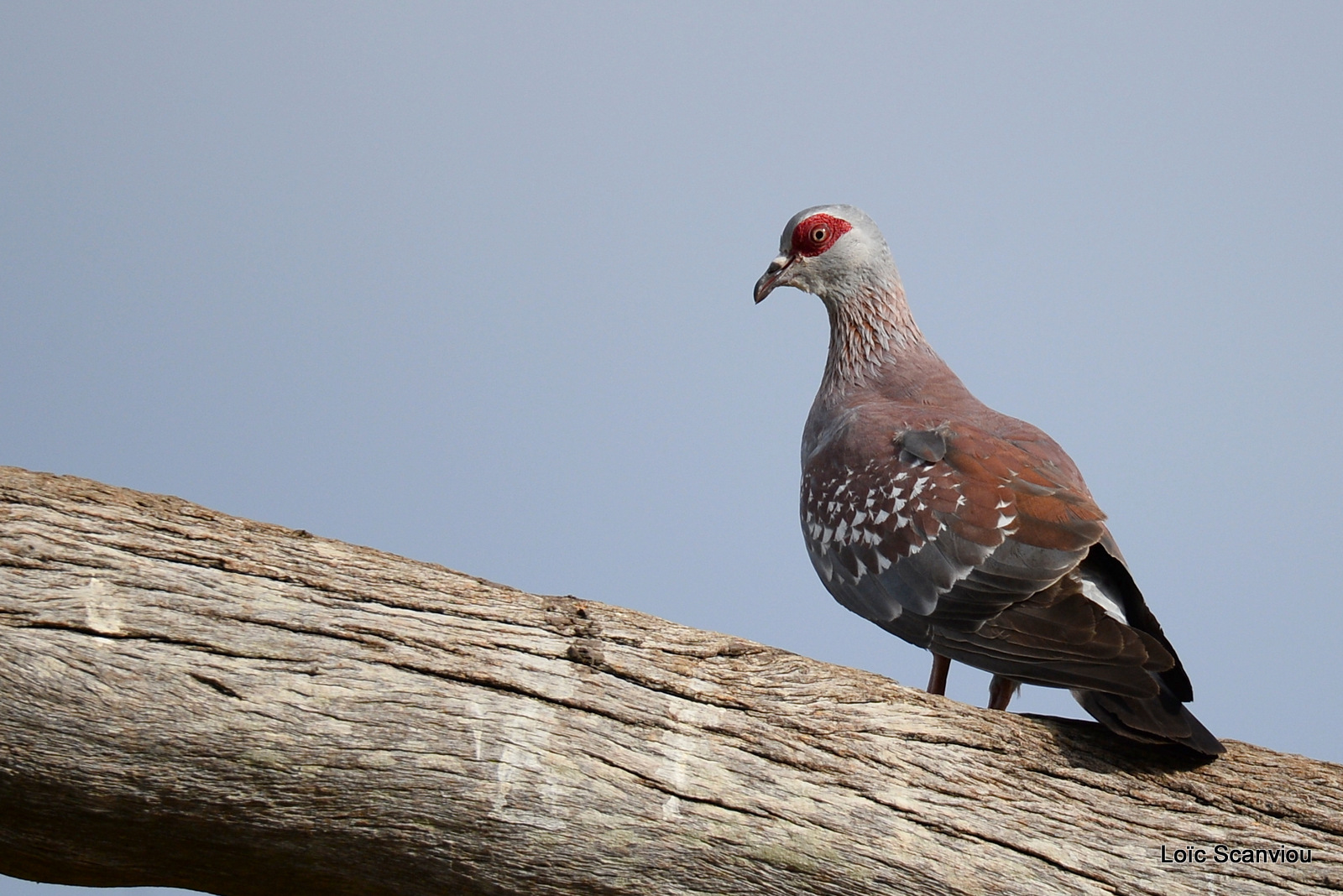 Pigeon roussard/Speckled Pigeon (1)