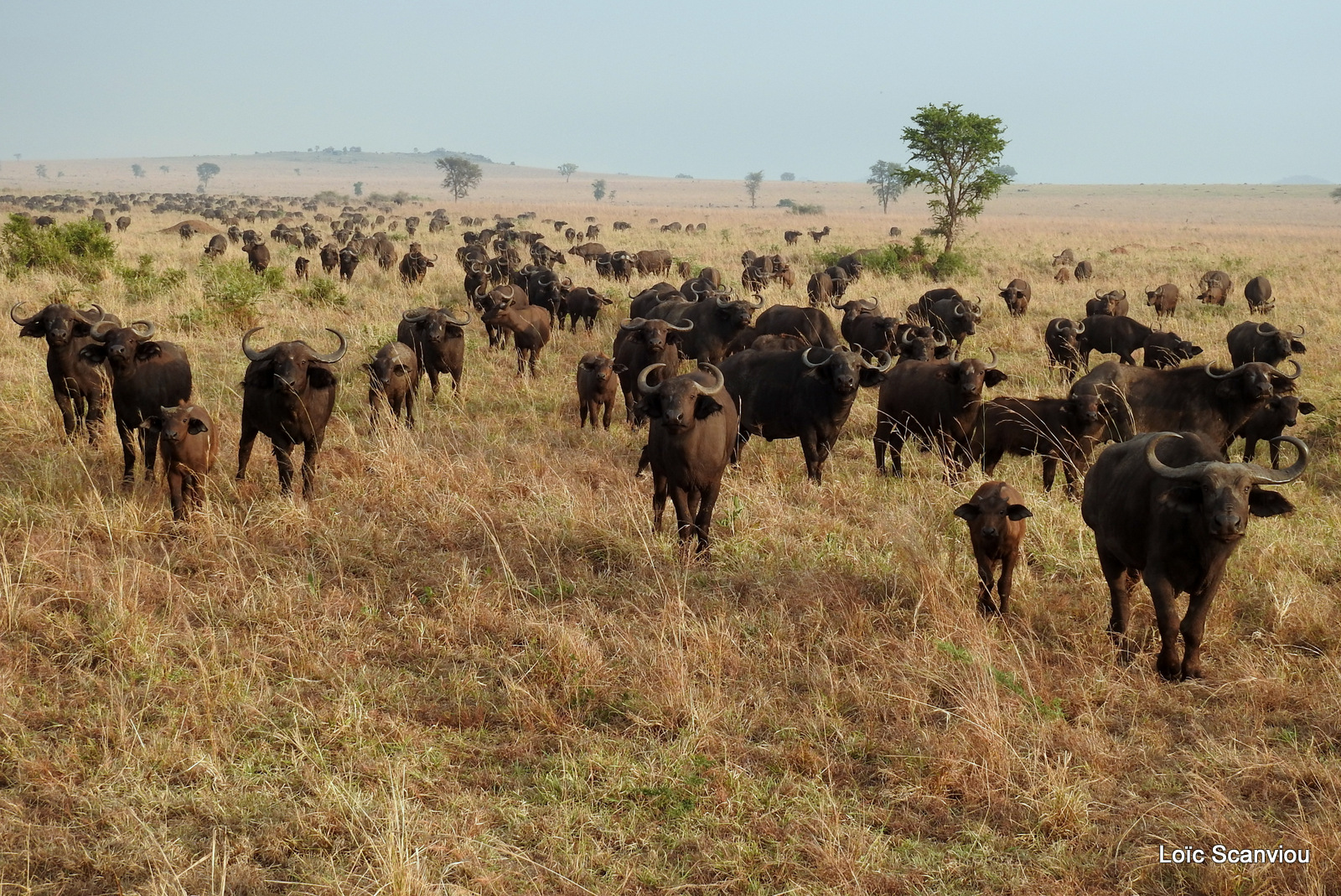 Buffle d'Afrique/Cape Buffalo (6)