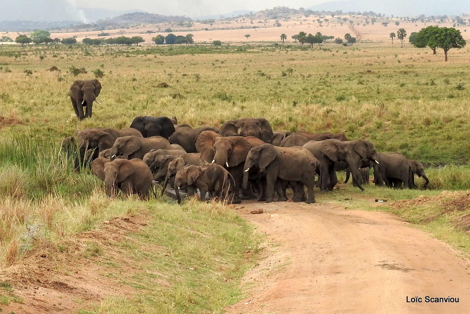 Éléphant de savane d'Afrique/Savanna Elephant (87)