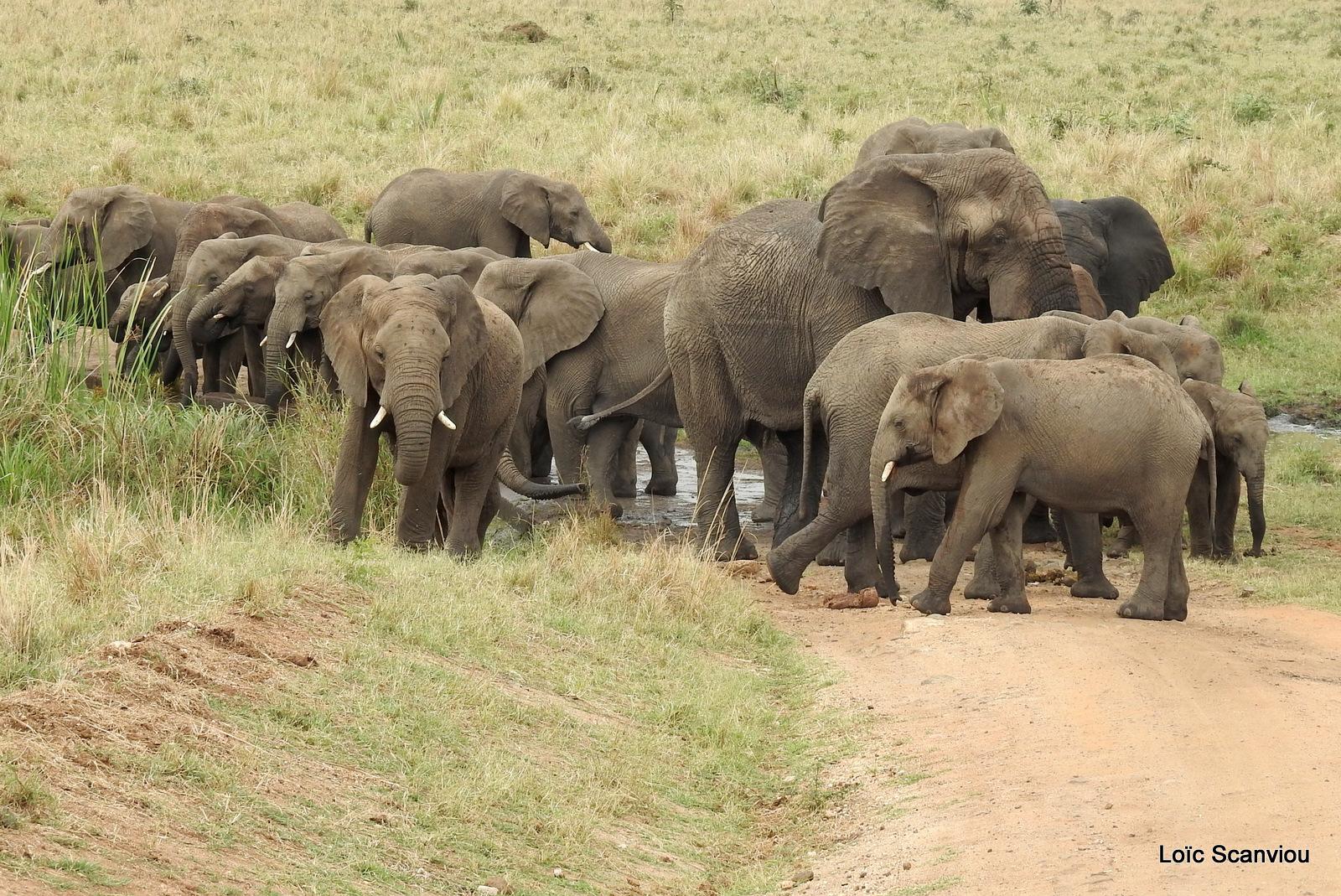 Éléphant de savane d'Afrique/Savanna Elephant (84)