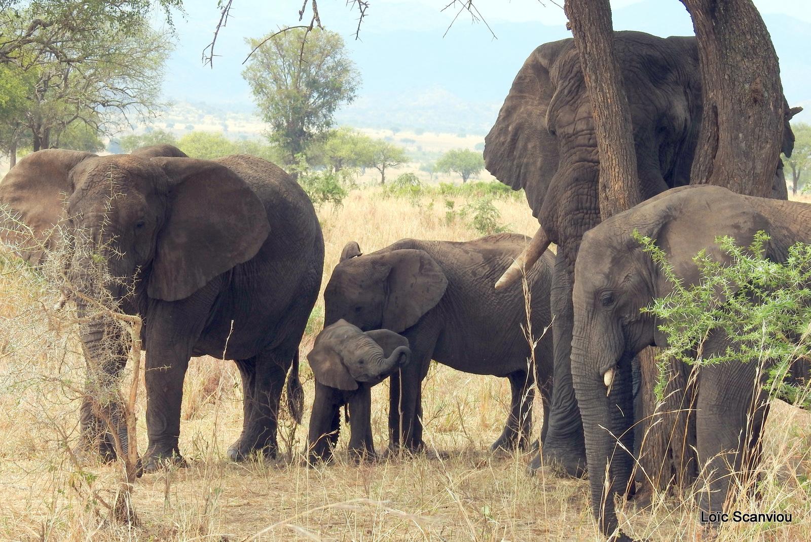 Éléphant de savane d'Afrique/Savanna Elephant (85)