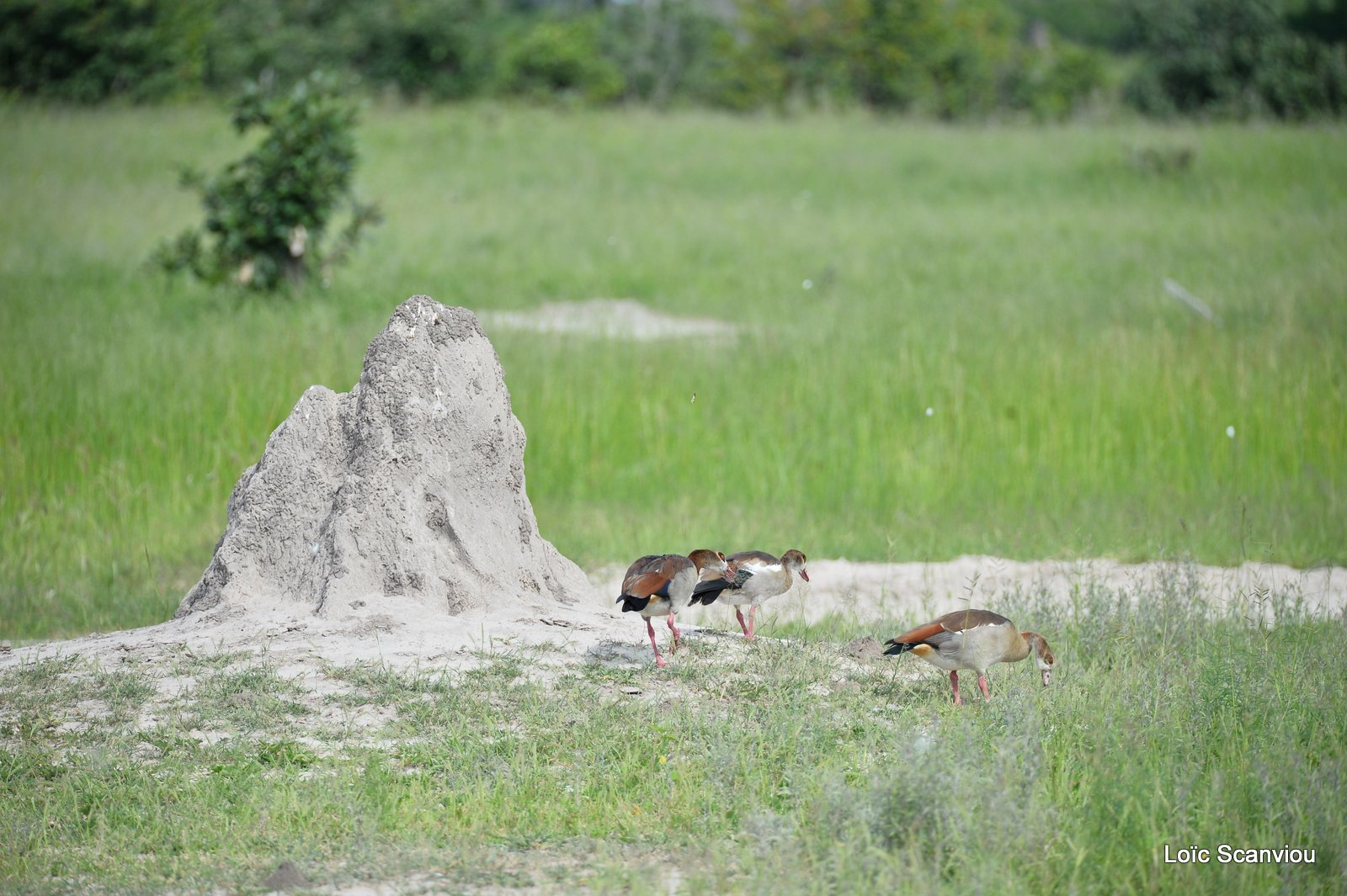 Ouettes d'Egypte/Egyptian Geese (1)