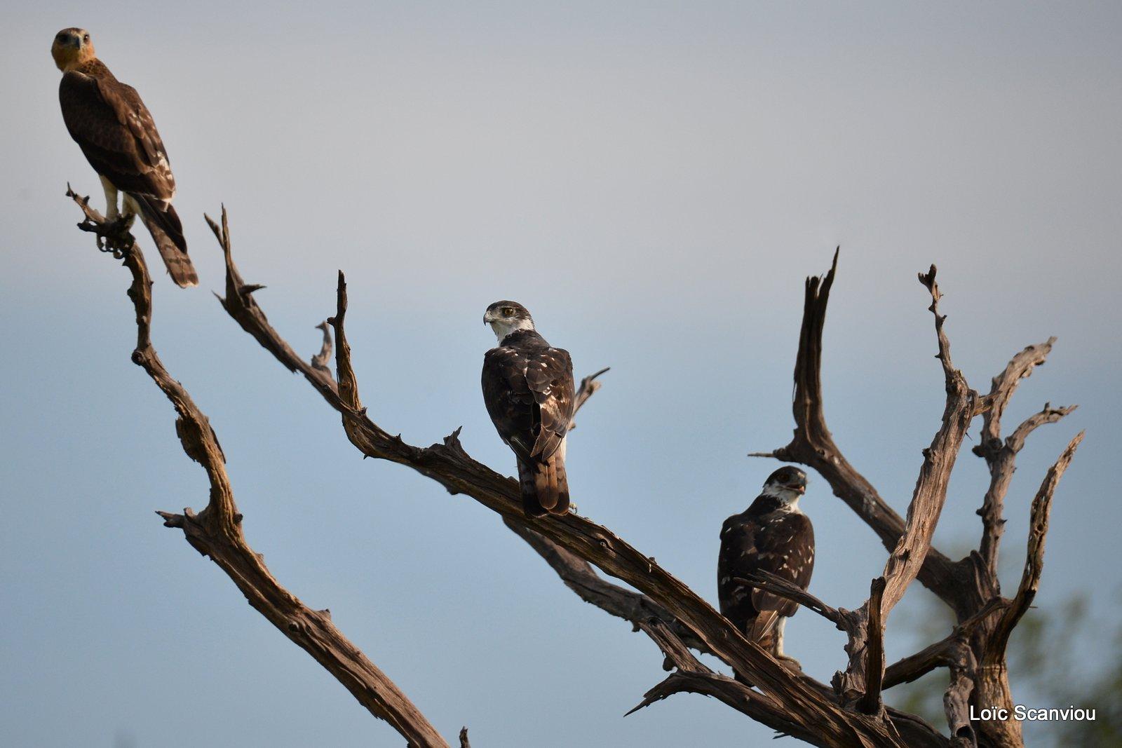 Aigle fascié/African Hawk-Eagle (1)