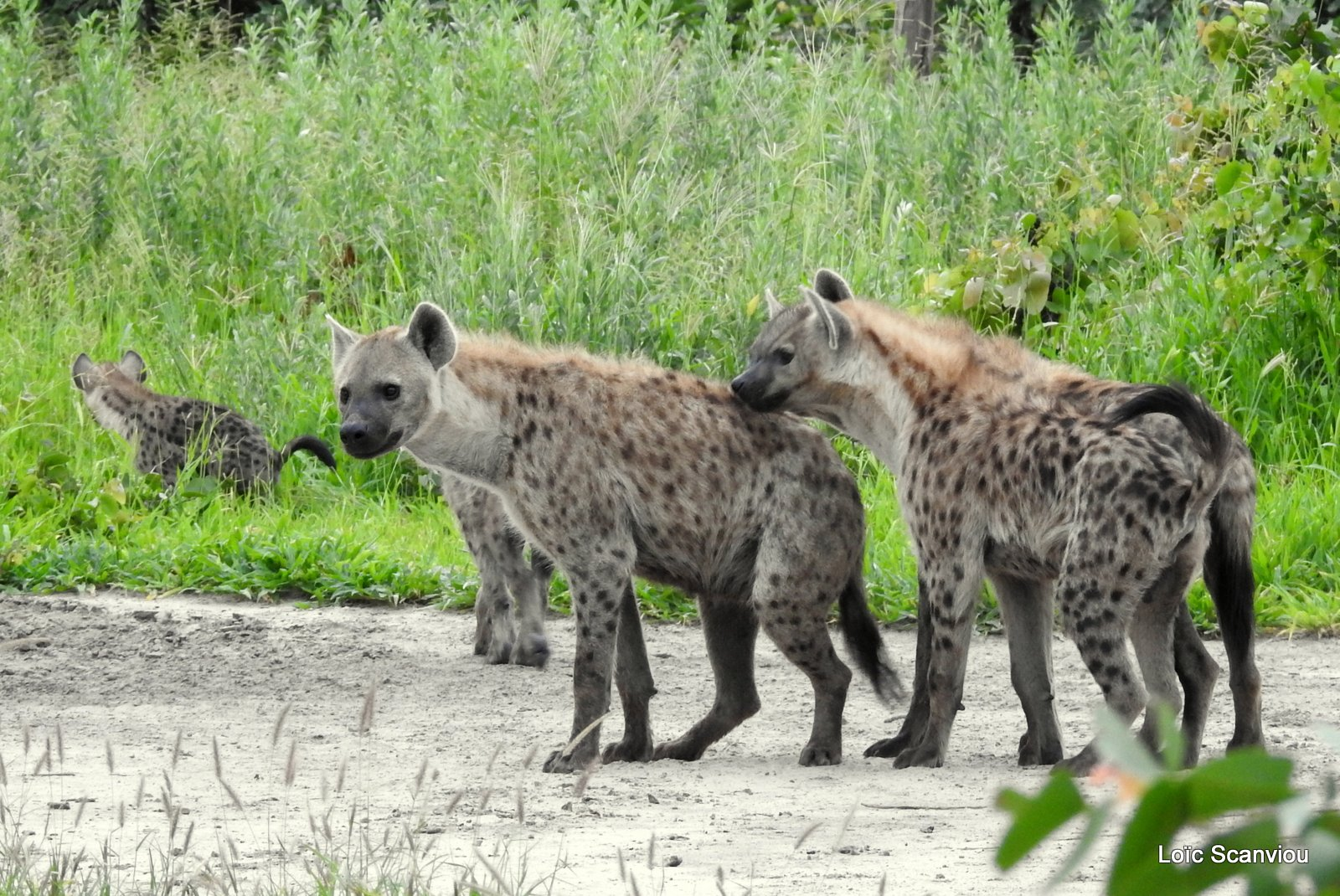 Hyène tachetée/Spotted Hyena (29)