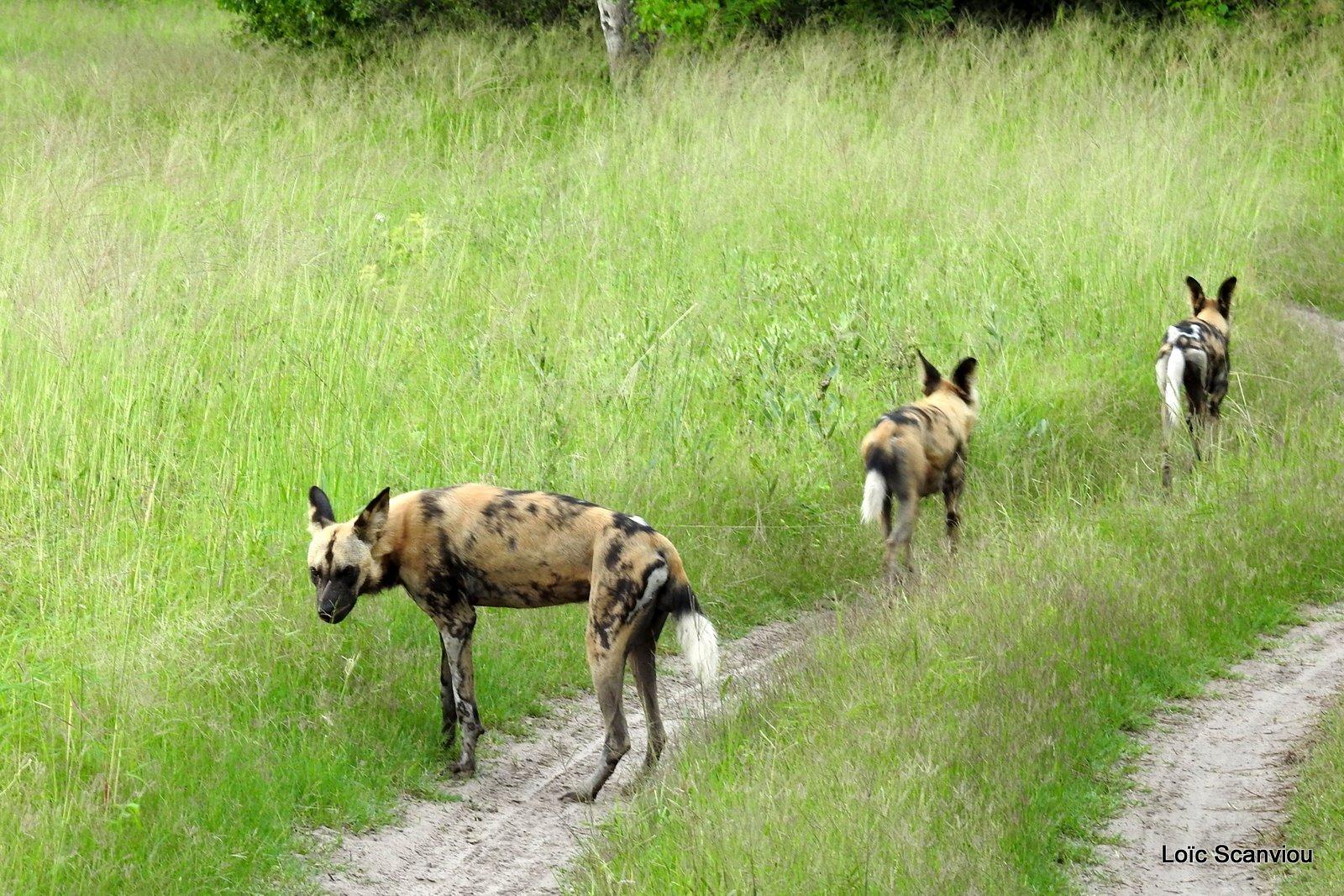 Lycaon/African Wild Dog (14)