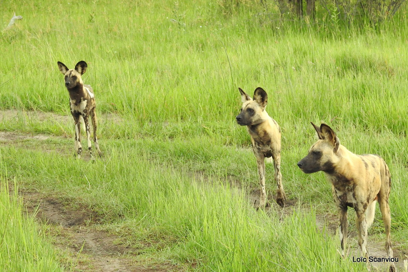 Lycaon/African Wild Dog (16)