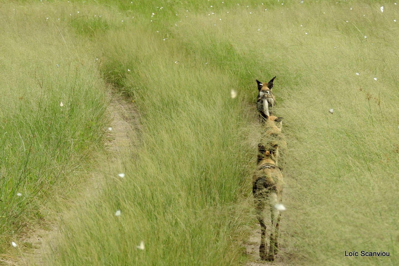 Lycaon/African Wild Dog (18)