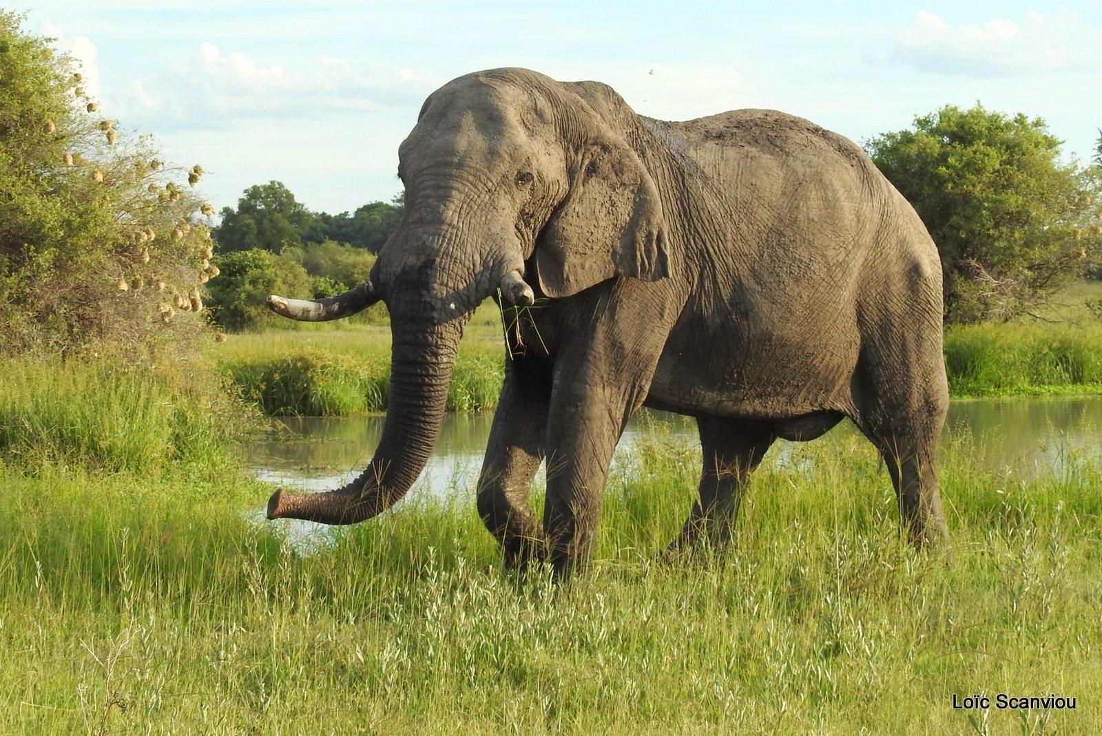 Eléphant d'Afrique/African Elephant (4)