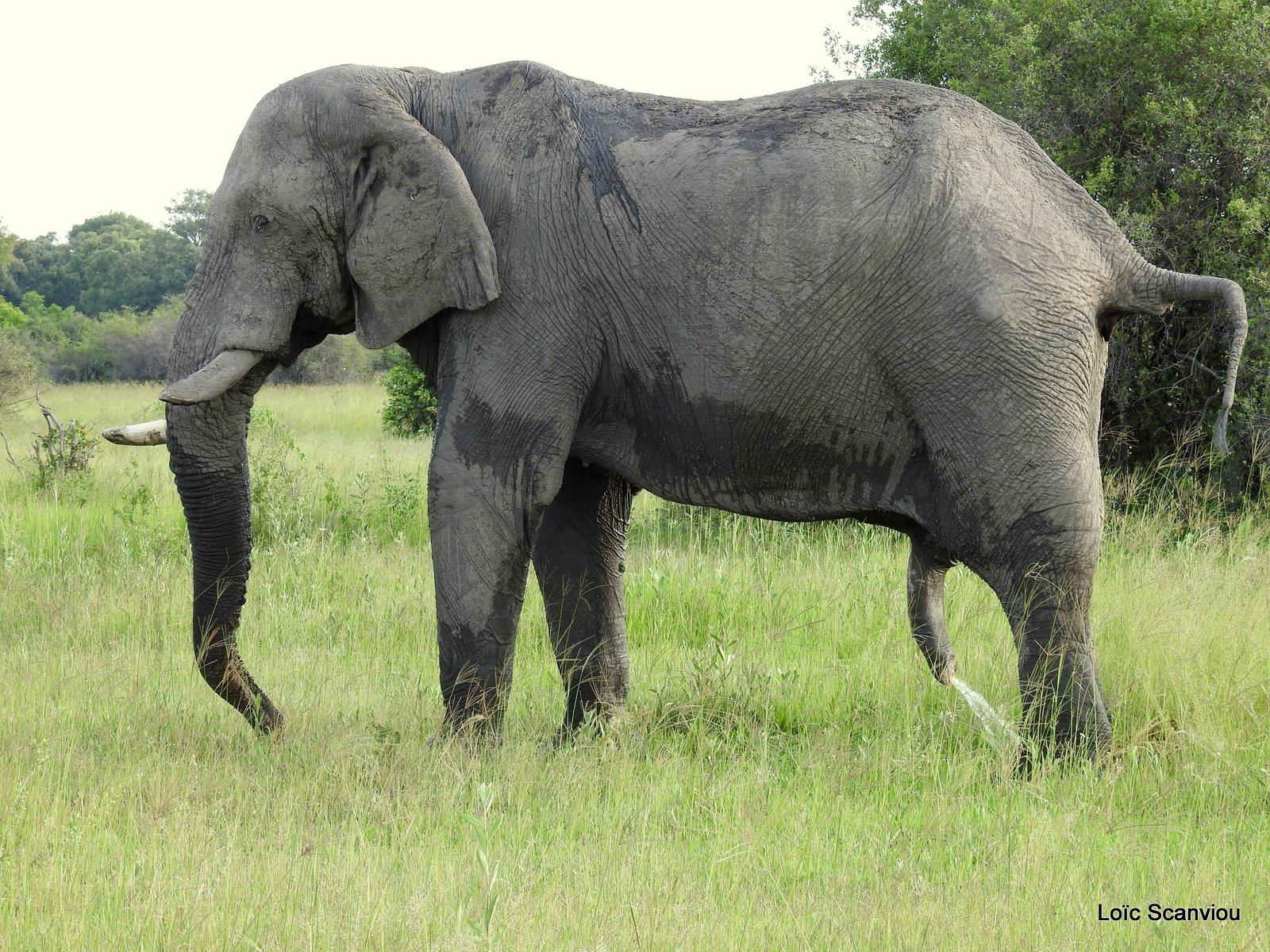 Eléphant d'Afrique/African Elephant (5)