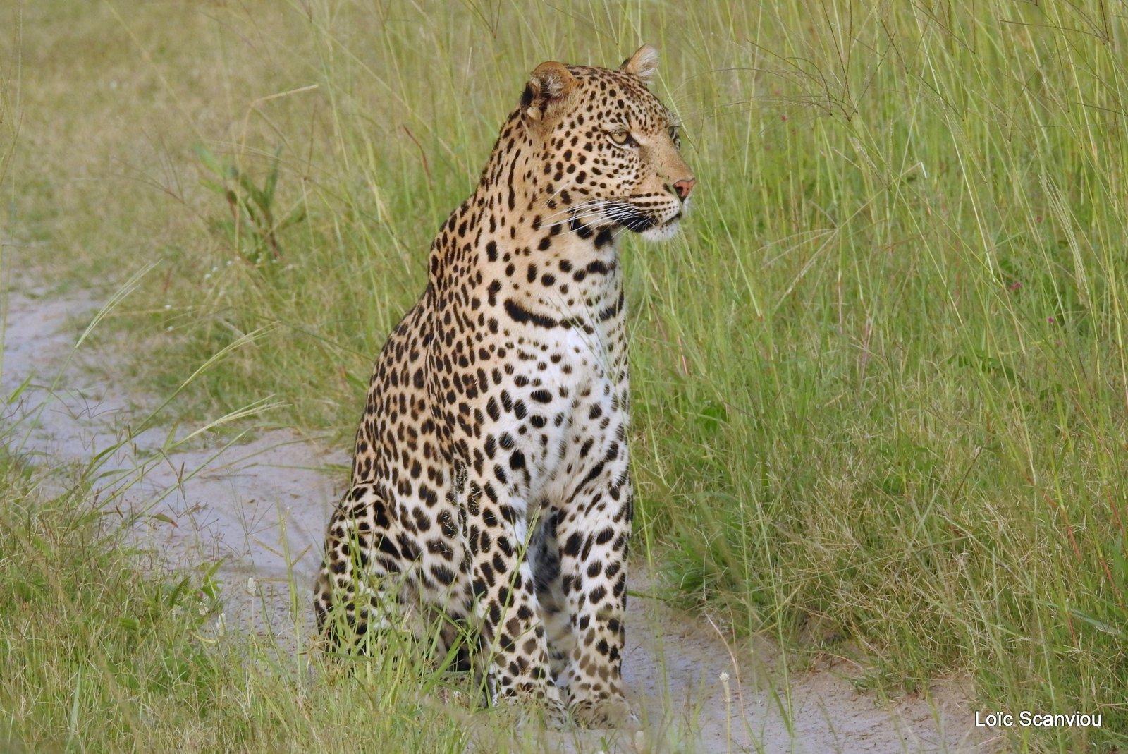 Léopard/Leopard (27)