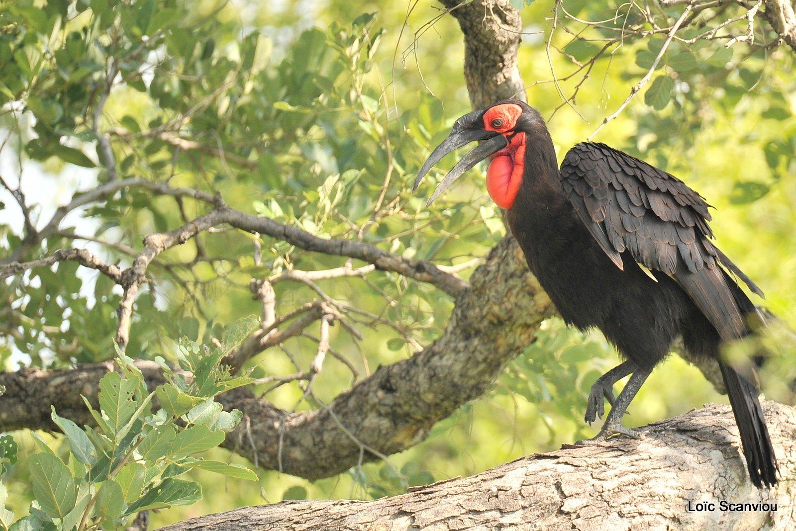 Bucorve du Sud/Southern Ground Hornbill (1)