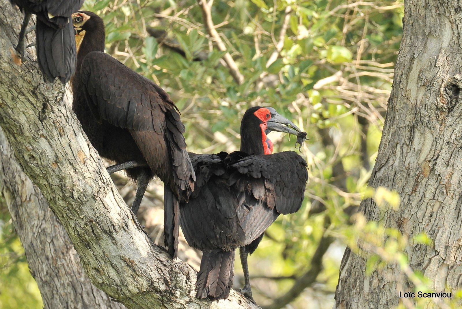 Bucorve du Sud/Southern Ground Hornbill (2)