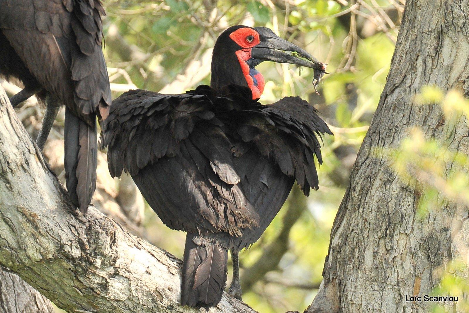 Bucorve du Sud/Southern Ground Hornbill (3)