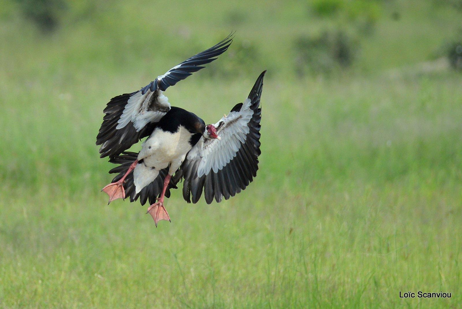 Oie-armée de Gambie/Spur-winged Goose (1)