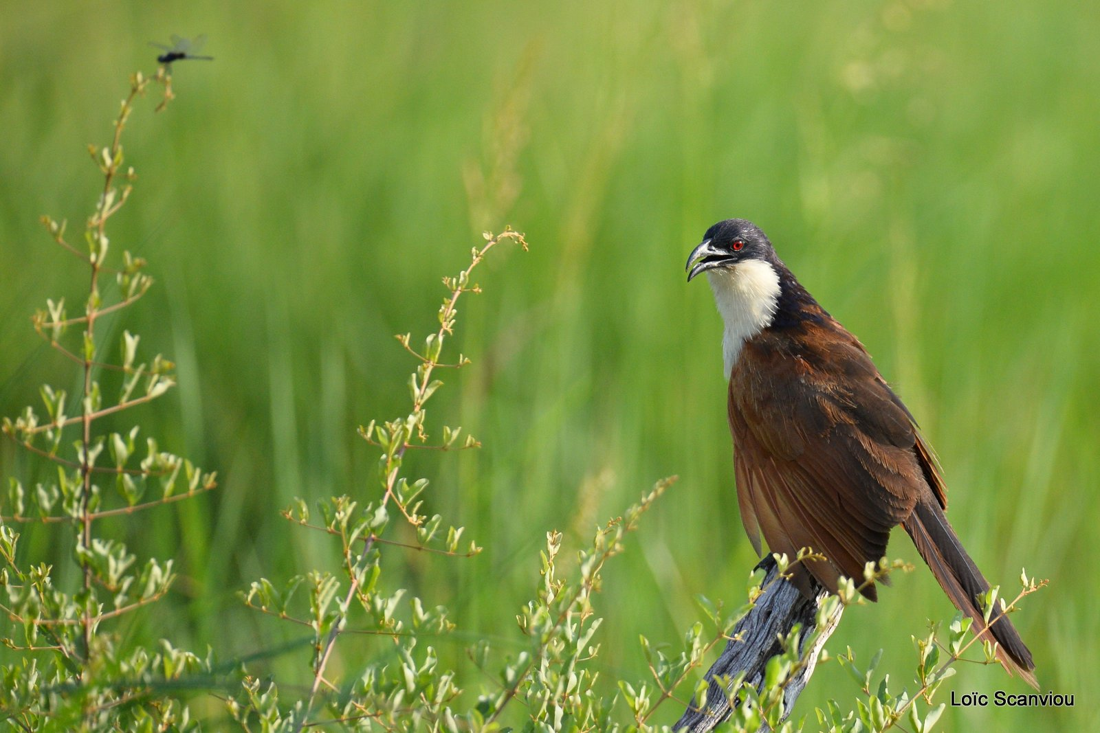 Coucal des papyrus/Coppery-tailed Coucal (1)