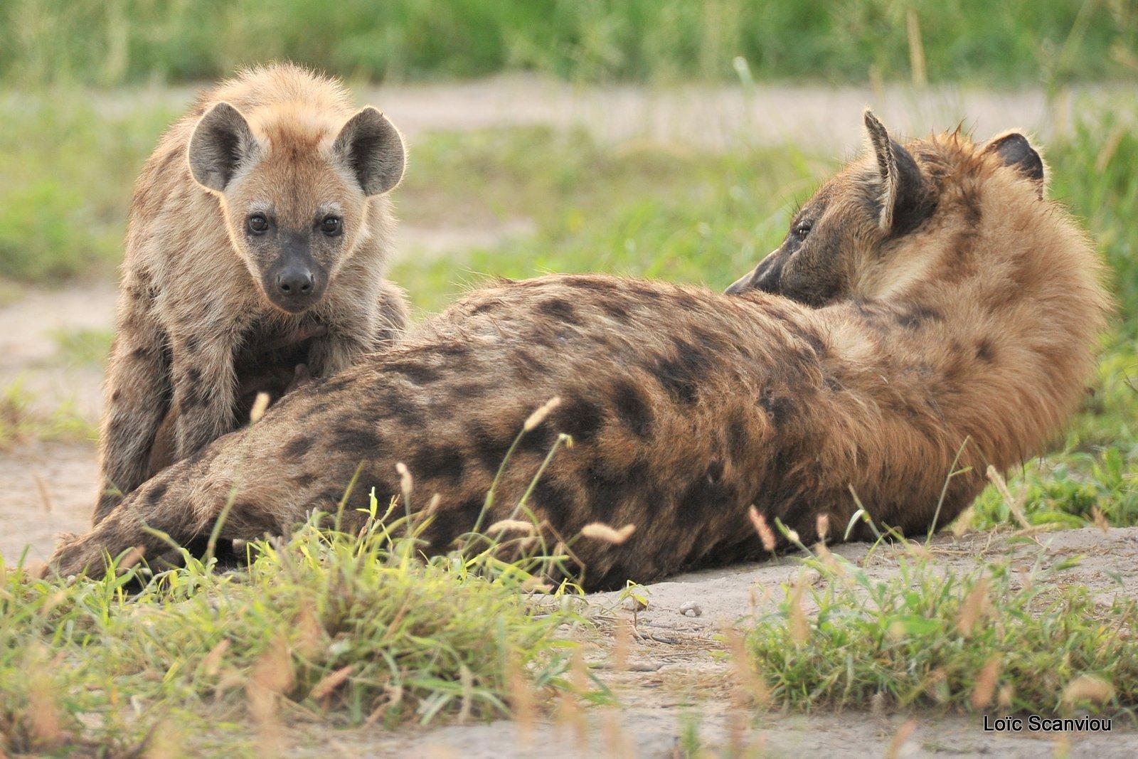 Hyène tachetée/Spotted Hyena (3)