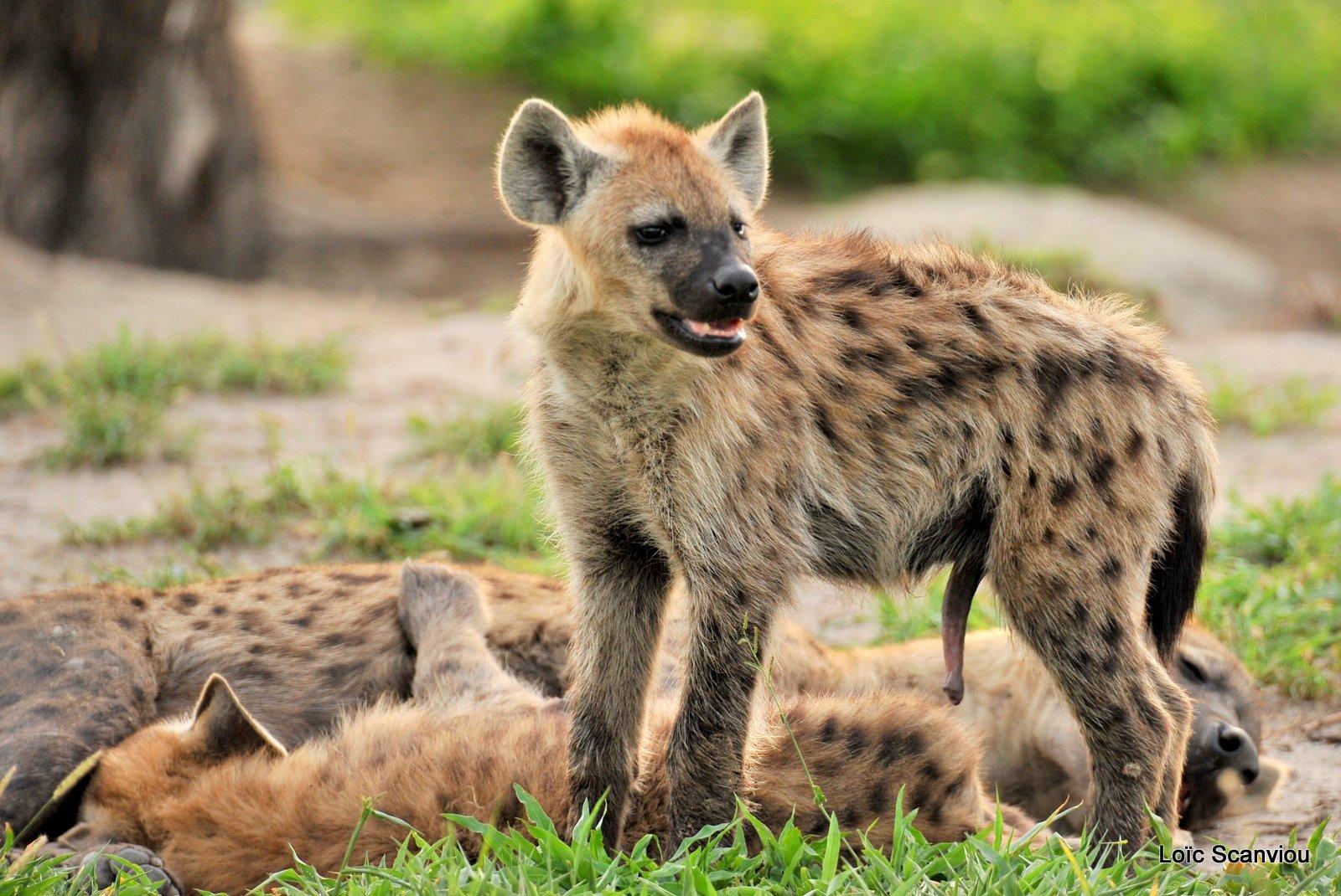 Hyène tachetée/Spotted Hyena (5)
