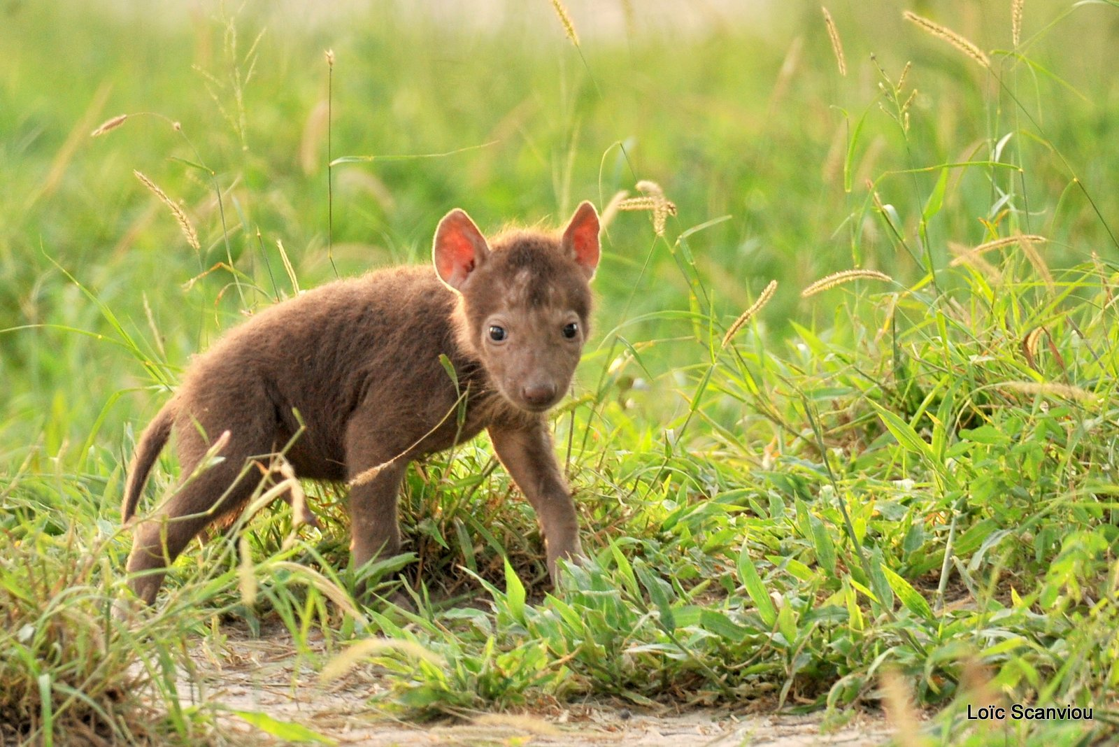Hyène tachetée/Spotted Hyena (6)