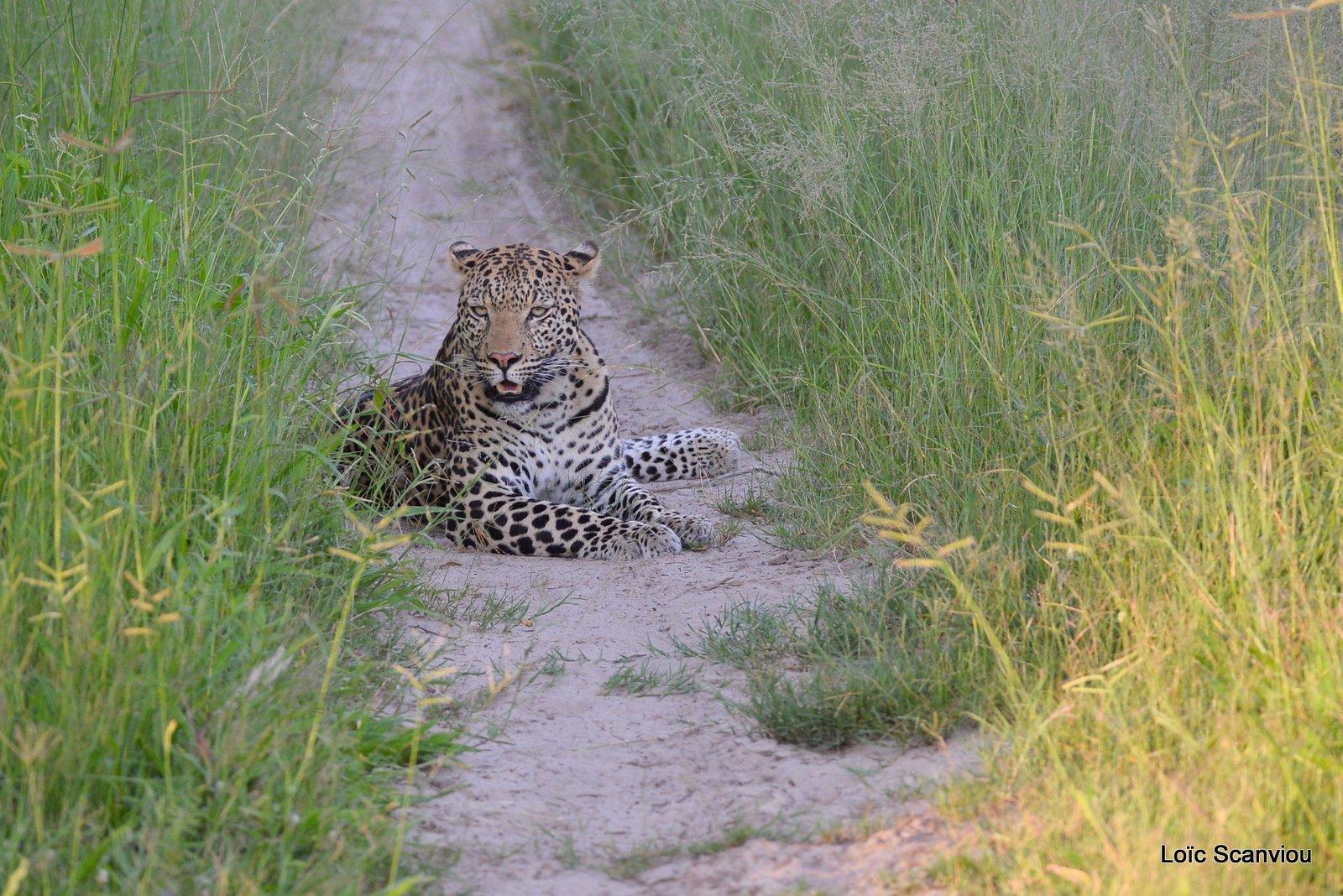 Léopard/Leopard (1)