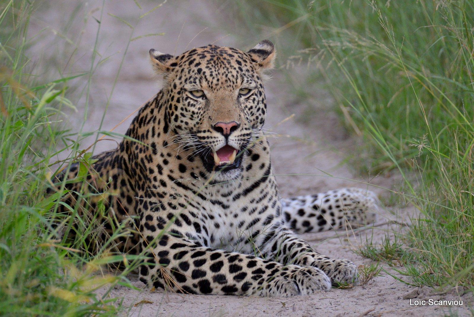 Léopard/Leopard (2)