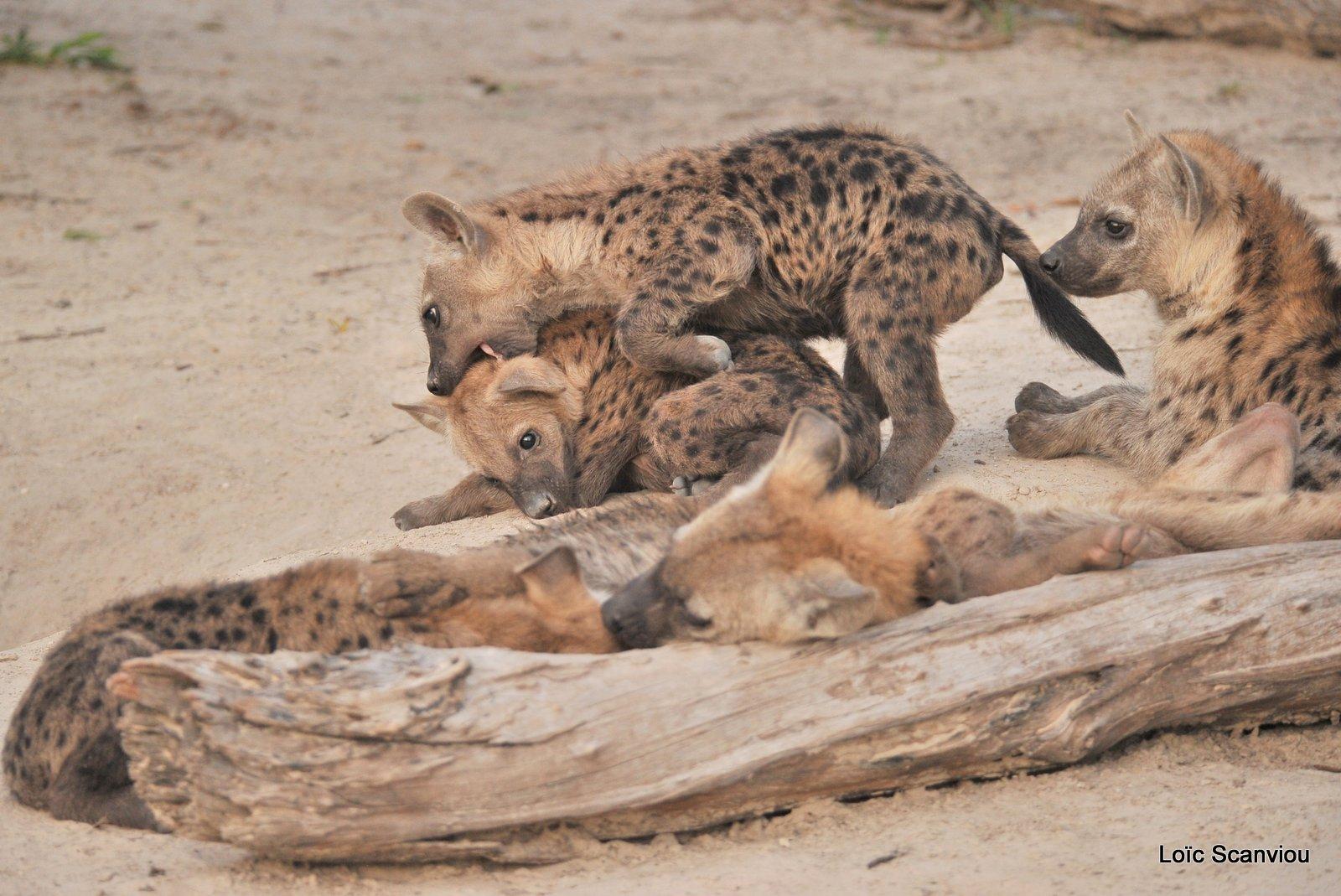 Hyène tachetée/Spotted Hyena (8)