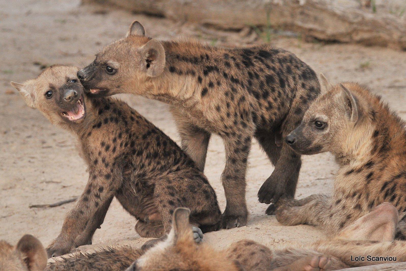 Hyène tachetée/Spotted Hyena (9)