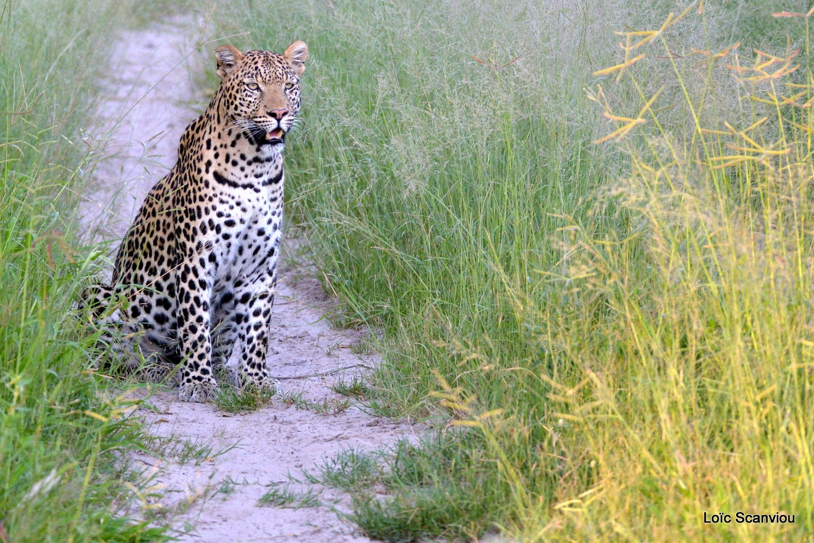 Léopard/Leopard (4)